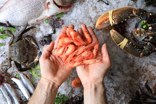 Close up top view of chef's hands full of small fresh prawns on a background of ice and sea food