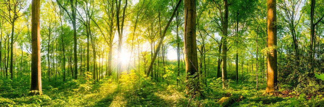 Vom Licht der Sonne durchfluteter Wald wie aus dem Märchen mit großen alten Bäumen im Vordergrund und der strahlenden Sonne im Hintergrund