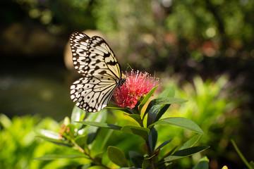 Malabar tree nymph butterfly