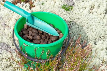 Elk droppings picked in bucket in the forest