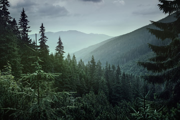 Panoramic view of coniferous forest in the mountains at sunset.