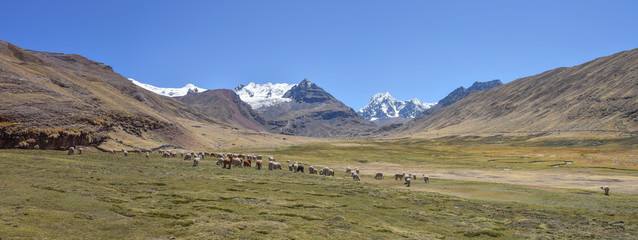 A pack of Alpacas and Llamas graze agains the backdrop of Mt Ausungate. Cusco, Peru