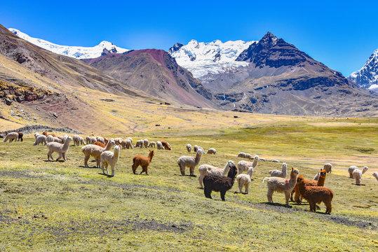 A pack of Alpacas and Llamas graze agains the backdrop of Mt Ausungate. Cusco, Peru