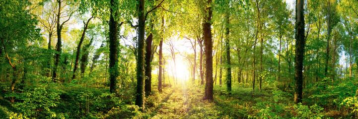 Lichtung in einem Wald mit großen Bäumen im Licht der untergehenden Sonne