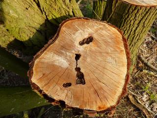 Jahresringe eines Baumes der abgesägt wurde