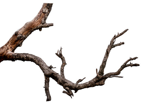 Branch of dead tree isolated on white background with clipping path
