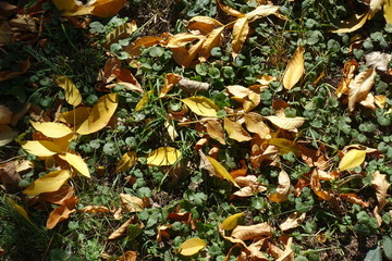 Amber yellow fallen leaves covering Glechoma hederacea in autumn