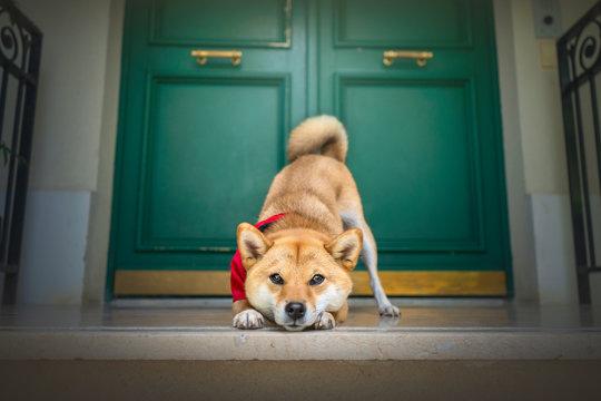 chien shibainu poser devant une porte vert