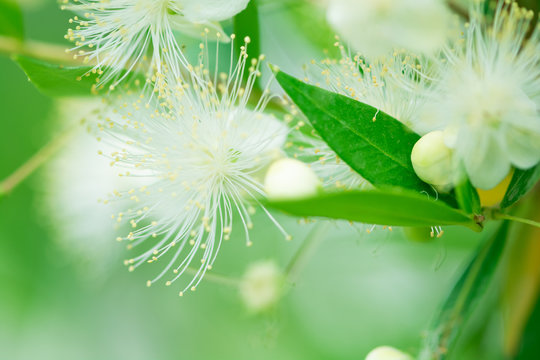 Close-up bush of white flowers. Nature pattern. Soft focus