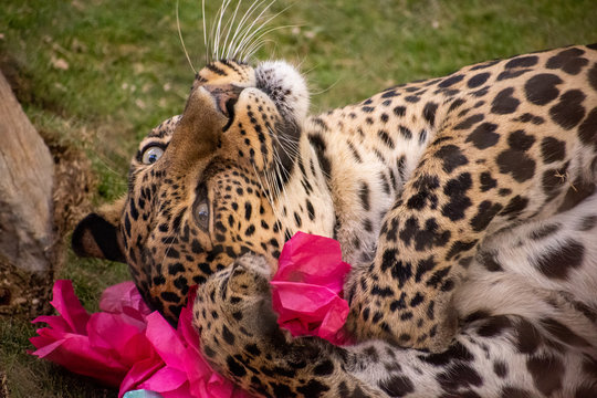 Playful leopard rolling on the ground