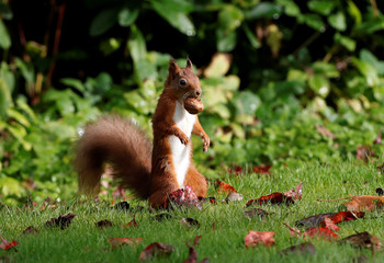 A red squirrel stockpiles walnuts in Pitlochry, Scotland