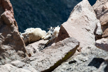 Mountain Goat on the Summit of Mountain Evans Colorado