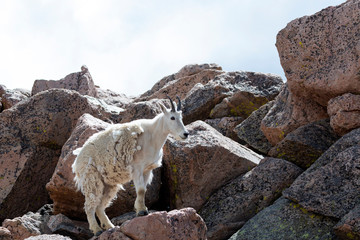 Mountain Goat on the Rocky Summit of Mount Evans
