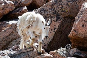 Scruffy Mountain Goat on Mount Evans