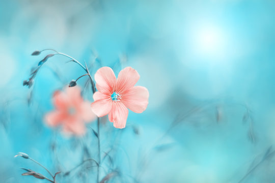 Beautiful pink flax flower on a turquoise blue background, toned image. Natural spring art background. Selective soft focus.