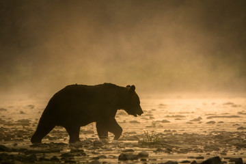 Silhouette of a brown bear (Ursus arctos) in the water at sunrise. Bieszczady Mountains. Poland