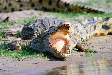 Deurstickers Krokodil Nile crocodile gaping with its mouth wide open