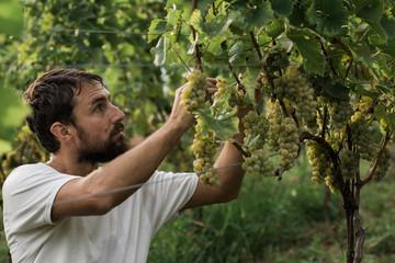 Man picking grapes on vineyard