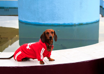 A brown Dachshund dog in a red sweater and red collar sits on a background of blue water and looks at the camera. Concept of dog clothes.