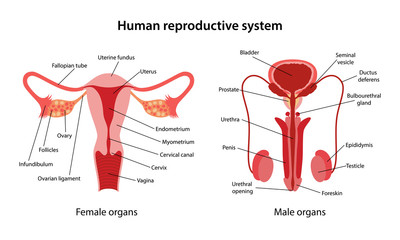 Human-reproductive-system-3