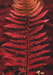 Close up of a fern, infrared process