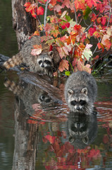 Fototapete - Pair of Raccoons (Procyon lotor) Stare Out from Logs in Pond Autumn