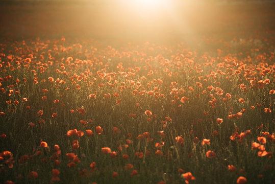 Poppy flowers on field in sunshine
