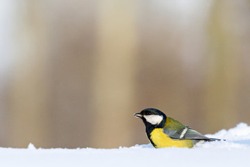 tit sits in the snow in a forest glade
