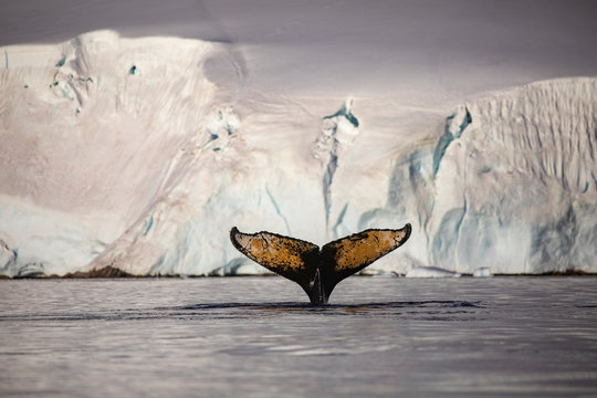 Humpback whales amongst ice