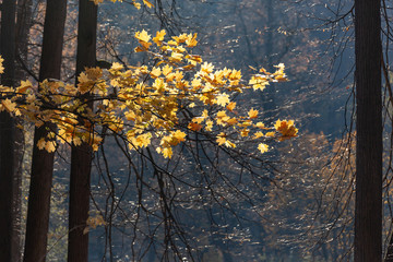 Golden autumn in the forest, Russia. Black trunks of trees and bright yellow leaves in the foreground.