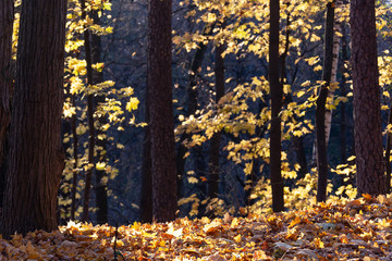 Golden autumn in the forest, Russia. Black trunks of trees and blurred leaves in the foreground.