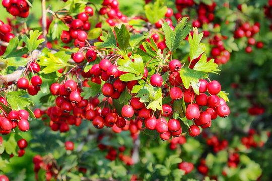 hawthorn berries in the autumn garden