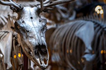 A closeup of a antelopes skull