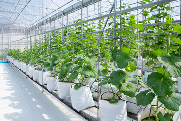 Cantaloupe melons young plant growing in greenhouse organic farm