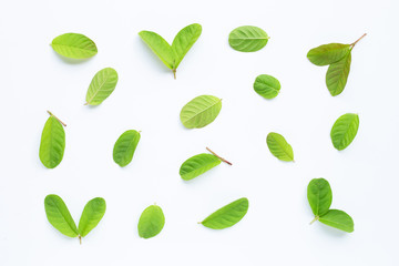 Guava leaves on white background.