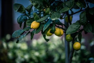 Yellow lemon on the lemon tree