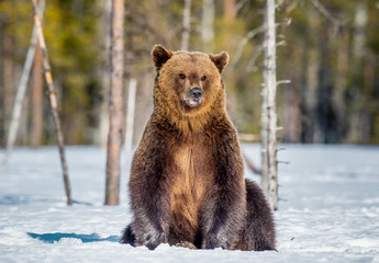 Brown Bear sitting on the snow in spring forest. Front view. Scientific name: Ursus arctos.