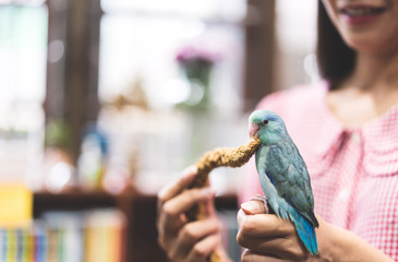 Blue tiny parrot bird playing friendly with adult woman at home.
