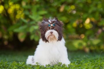 dog puppy yorkshire terrier