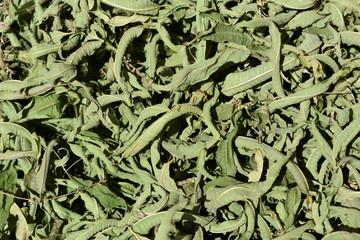 Hojas de hierba luisa recién recolectadas a finales del verano. expuestas al sol para su proceso de secado y conversión en hojas para infusión.