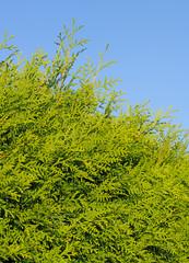 Abendländischer Lebensbaum, Thuja occidentalis, als Hecke