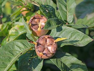 Mispel, Mespilus germanica, Früchte