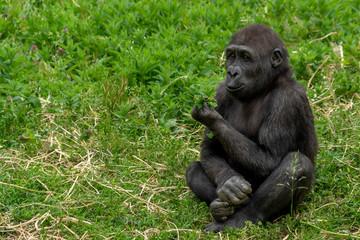 baby gorilla monkey ape portrait