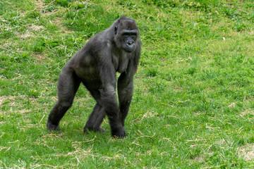 female black gorilla monkey ape portrait