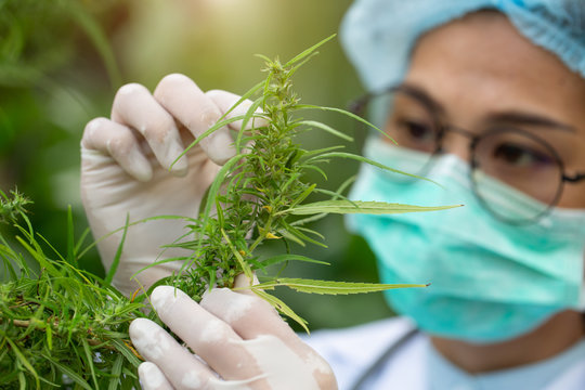 Female scientist in a hemp field checking plants and flowers, alternative herbal medicine concept, Marijuana research, cbd cannabis oil,   pharmaceptical industry.