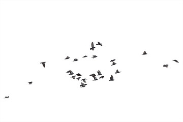 Zelfklevend Fotobehang Vogel Flocks of flying pigeons isolated on white background. Clipping path.