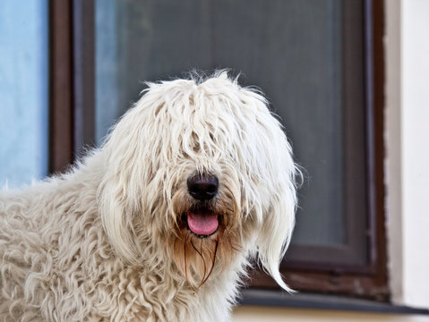Dog breed komondor, hungary shepherd portrait