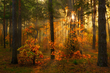 Autumn forest. Nice morning walk in nature. Autumn painted trees with its magical colors. Sunlight shines in the branches of trees.