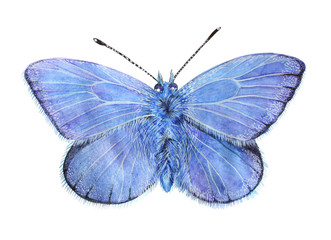 Butterfly Lycaena (copper-butterfly)  Beautiful sky blue butterfly isolated on a white background. Drawing watercolor, color pencils.