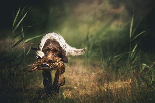 Portrait of a Griffon Korthals retrieving a duck